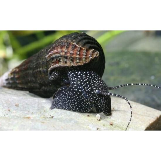 Nyúlcsiga - Tylomelania sp. ( Fehér pettyes!)
