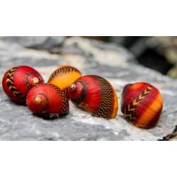 Csiga-Vörös versenycsiga -Neritina vittina waigiensis