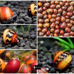 Versenycsiga -Neritina vittina waigiensis