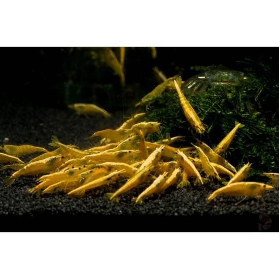 Garnéla-20 db Sárga neon garnéla (ingyenes szállítással!)